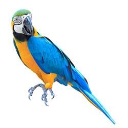 'parrot' 的 簡體中文 Translation | 柯林斯 英語 - 中文詞典