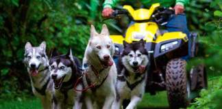 Sled Dogs Husky Welfare
