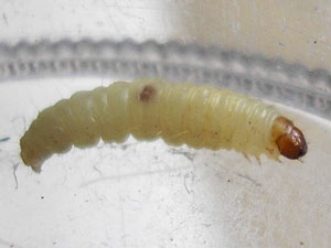 What Do Fly Maggots Look Like? - Colonial Pest Control
