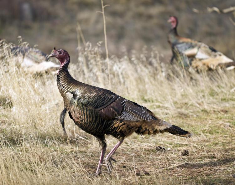 native americans domesticated turkeys