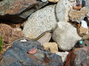 A snake hiding behind a rock