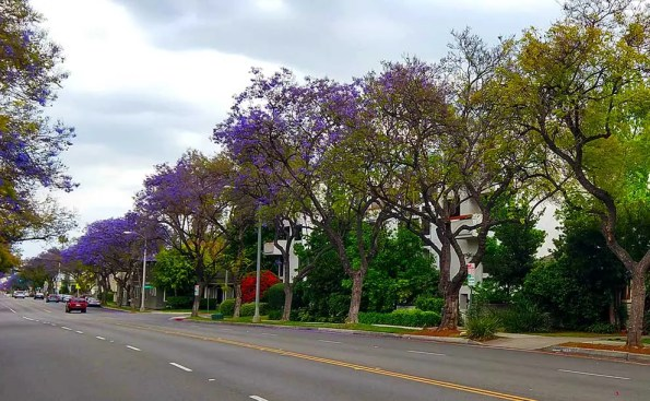 The purple trees (Jacaranda trees) on Del Mar Ave. (Photo - Emmanuel Kraultez).
