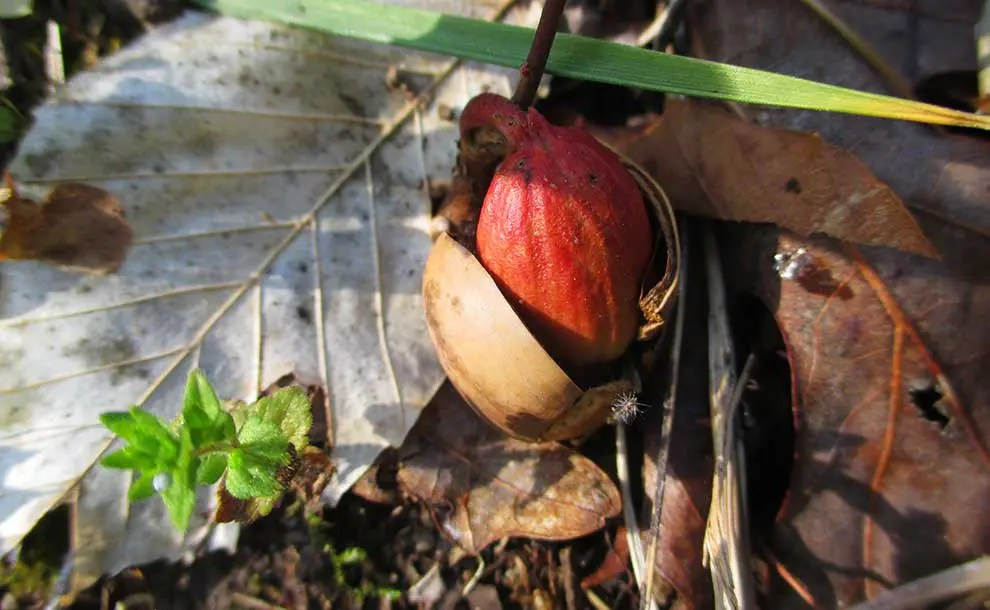 Acorn seedling (Photo - Cathie Bird).