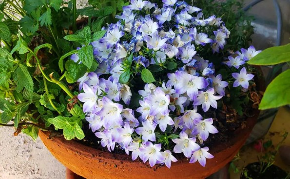 Bellflowers in a pot along with mint