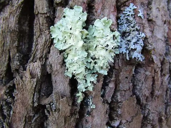 Blueish colored moss on a tree