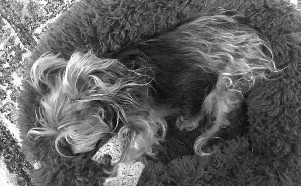 dog sleeping on a shaggie chair