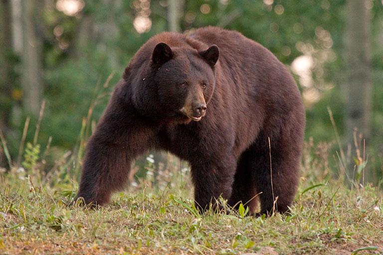 fast black bear facts