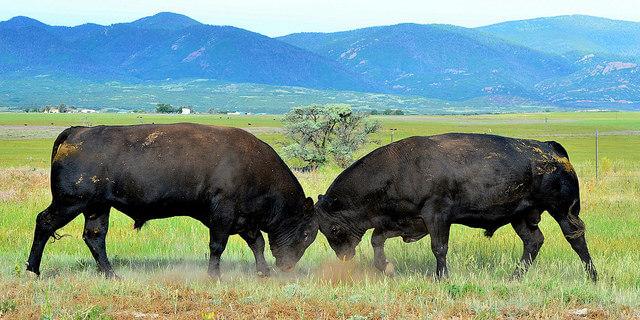 Two bulls fighting at La Veta Pass in Colorado