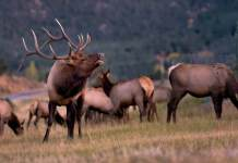 Bull Elk in Beaver Point, Estes Park, Colorado.
