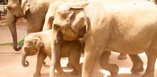 Elephants racing