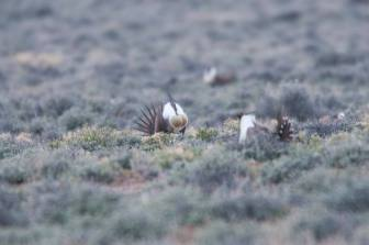 Sage Grouse, eastern Oregon (Photo by Bureau of Land Management Oregon and Washington