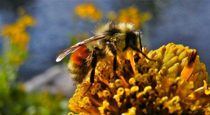 honeybee Colorado