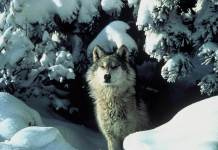 The last time Colorado was home to gray wolves was in the 1940s. Supporters of reintroducing the endangered species to Colorado are busy gathering signatures to put a measure on next November's ballot. (Public domain photo from the U.S. Fish and Wildlife Service via Flickr: Creative Commons)