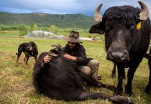Jose Miranda lays down to cuddle with one of his water buffalo. They are very attached to him, excitedly running to the gate when his truck approaches for a visit. (Photo by Luna Anna Archey/High Country News)