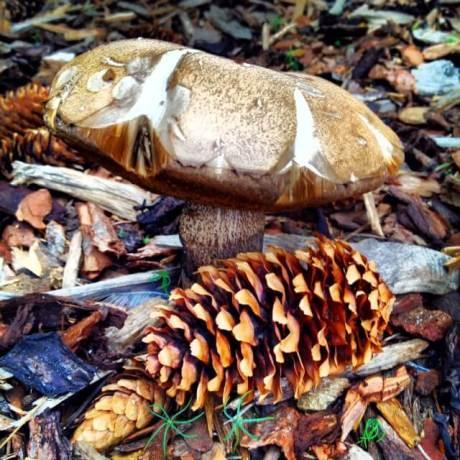 Colorado mushrooms suillus
