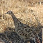 Colorado Pheasants Forever