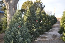 Christmas Trees - Heidrich' Colorado Tree Farm Nursery