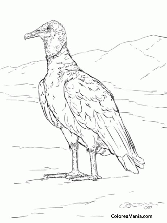 Colorear Buitre Negro Aves Dibujo Para Colorear Gratis