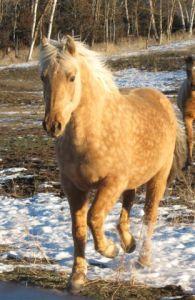 Devine Spirit's Primero  (Devine Spirit of Hope X Devine Golly Gee Wiz)  Palomino gelding foaled 5-19-05  Congratulations to David Allen of Alaska!