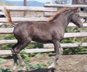 Devine Sugar and Spice  (Blacksaddle Starbuck X Devine Golly Gee Wiz)  Chestnut Filly  Foaled May 9, 2002  Congratulations to Marge Peaslee & Rick Mackin of Montana