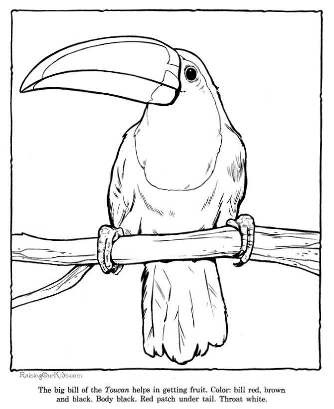 Toucan Coloring Pages Zoo