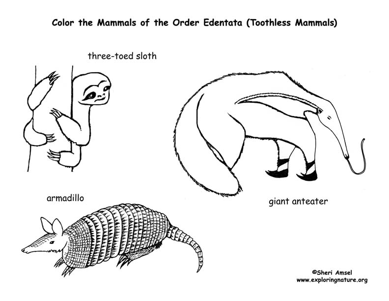 Sloths, Anteaters & Armadillo (Toothless Mammals
