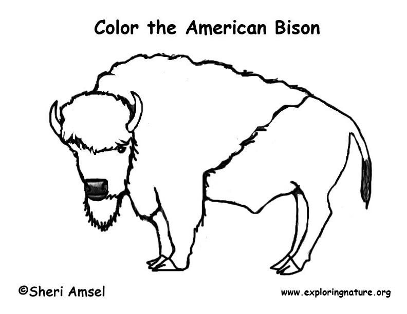 Bison (American)
