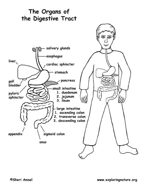 Digestive Tract Labeled (Middle School)