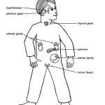 Endocrine System Coloring Worksheet Sketch Coloring Page