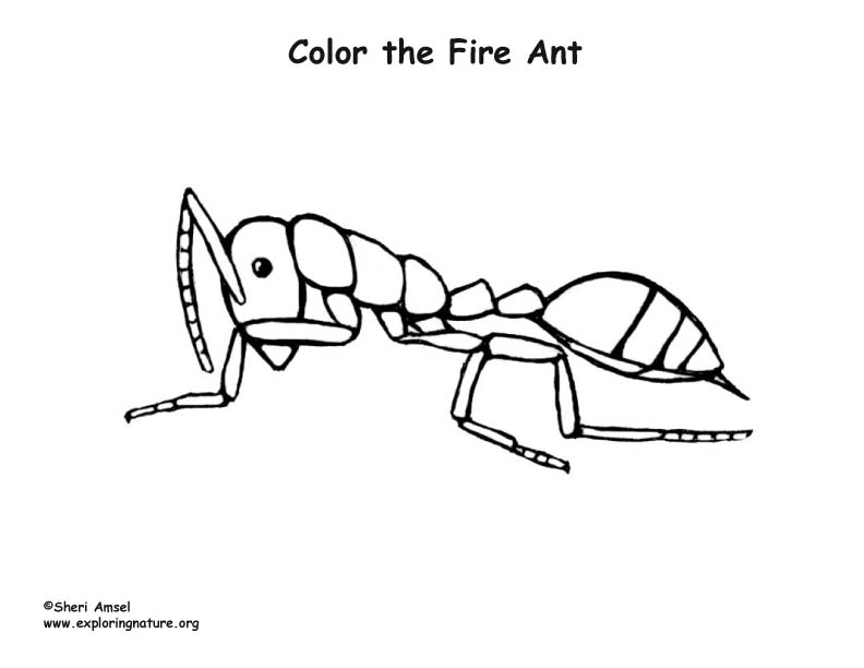 Fire Ant Coloring Page Sketch Coloring Page