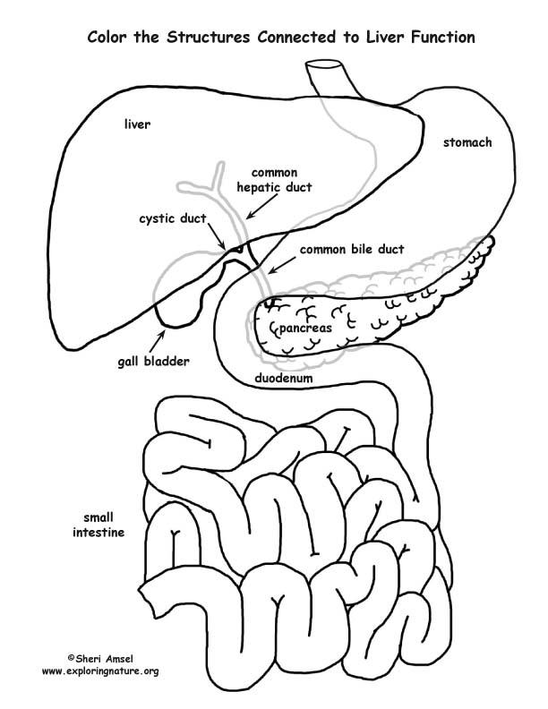 Liver Function Organs (Labeled)