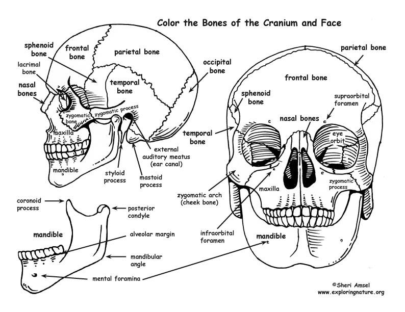 Skull – Bones of the Cranium and Face