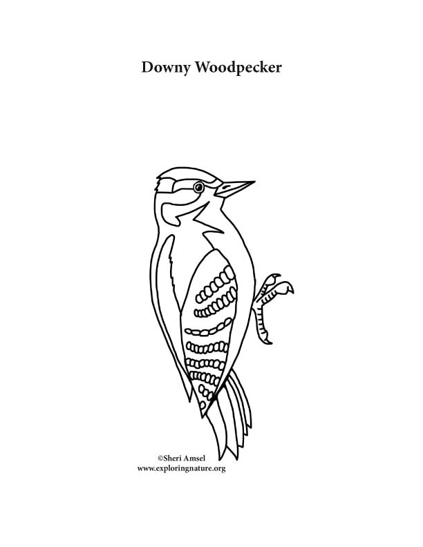 Woodpecker (Downy)