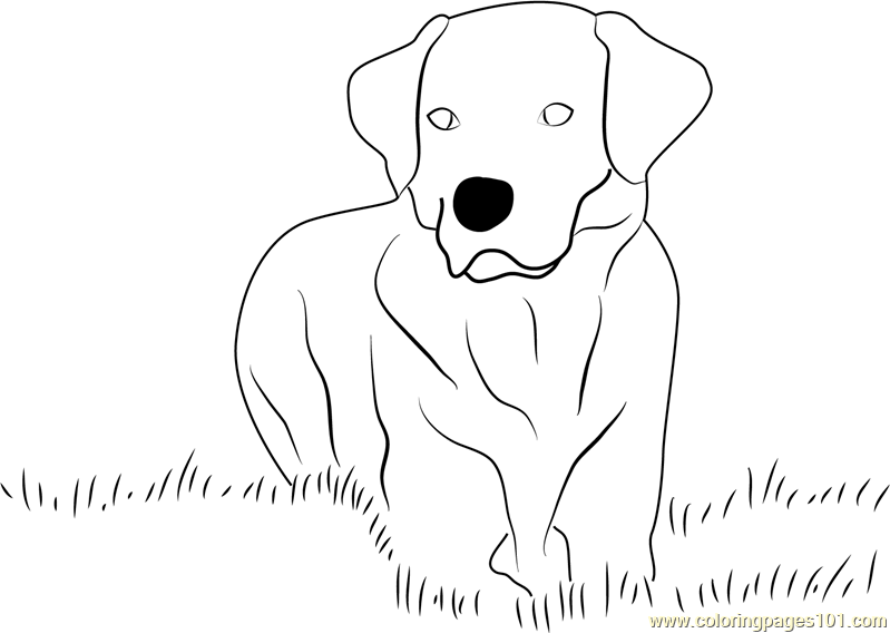 Chocolate Labrador Dogs Sheets Coloring Pages