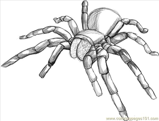 Raw A Tarantula Spider Step 5 Coloring Page Free Spider