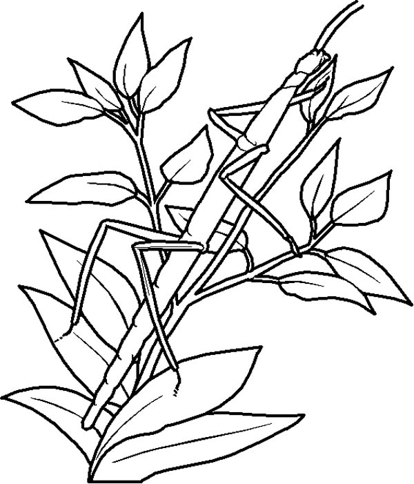 An Insect Camouflage as Tree Branch Coloring Page