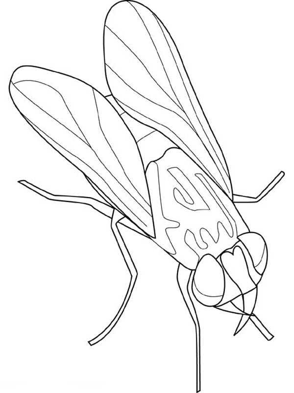 Animal Kingdom Fly Insect Coloring Page : Coloring Sky