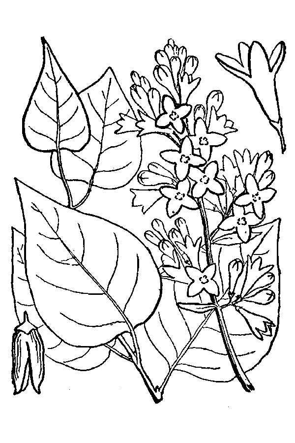 Flowers And Leaves Of Lilac Coloring Page Coloring Sky