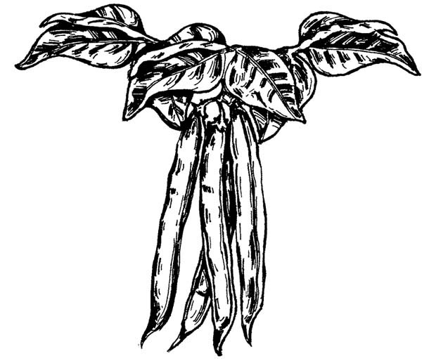French Beans Coloring Page : Coloring Sky