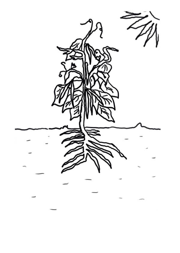 Growing Plants Green Bean Coloring Page : Coloring Sky