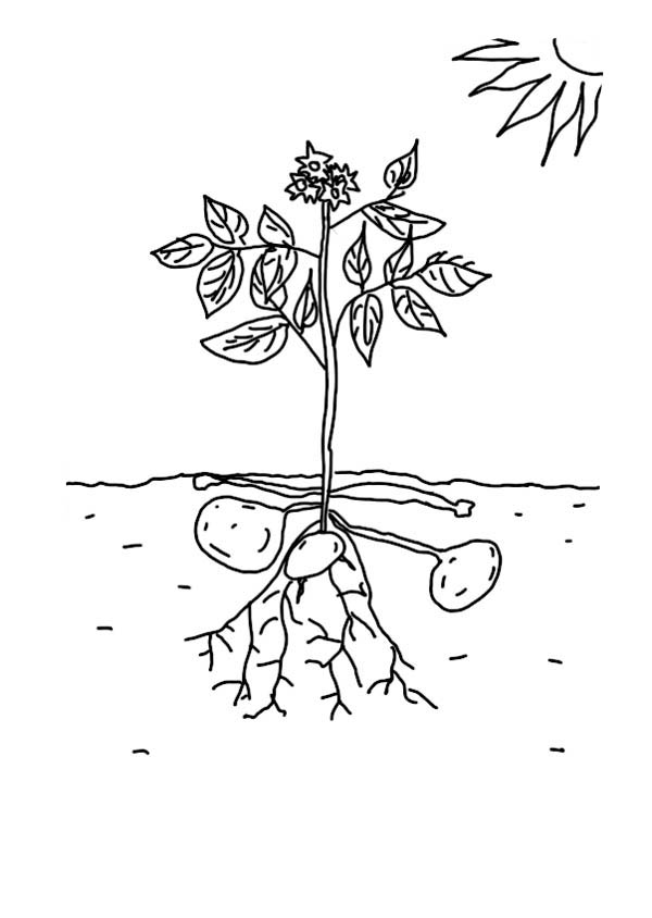 Growing Plants Growing Potatoe Coloring Page : Coloring Sky