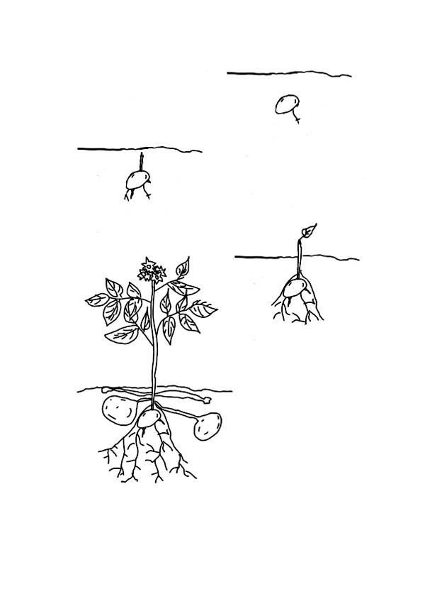 Lima Bean Seed Coloring Sheet Coloring Pages