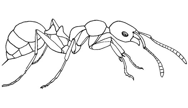 Meat Eater Ant Coloring Page : Coloring Sky