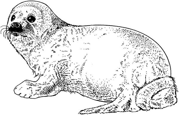 Sketch Of Seal Coloring Page : Coloring Sky