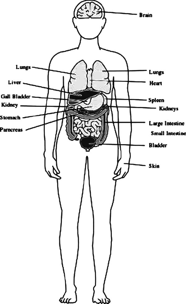 Human Body Outline with Organs Coloring Pages: Human Body