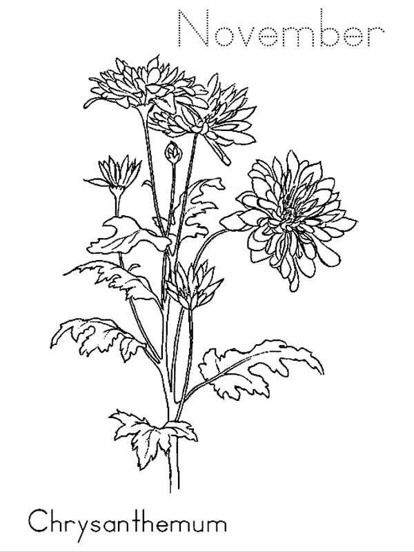Chrysanthemum on November Coloring Page: Chrysanthemum on