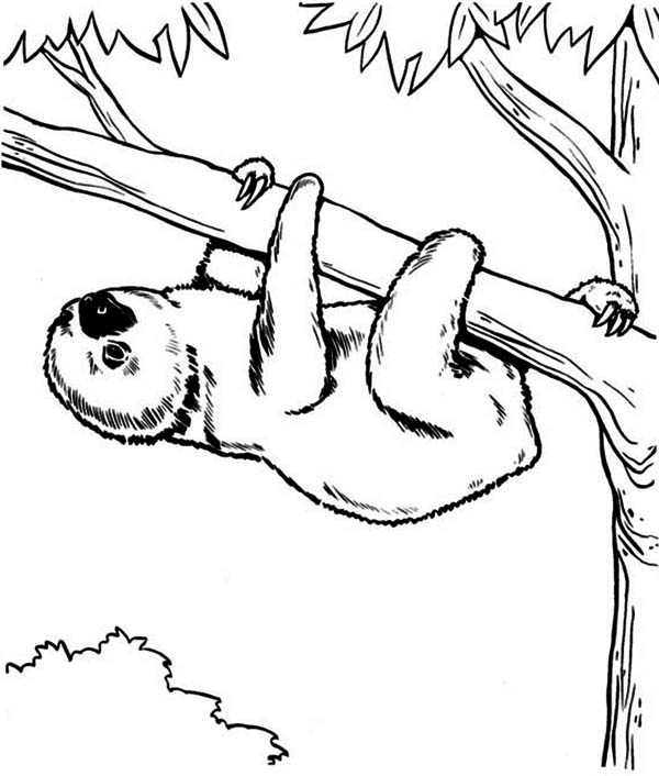 Endangered Species Sloth Coloring Page