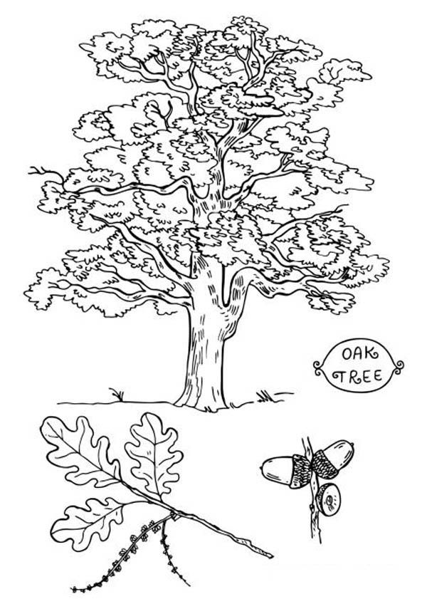 Picture Of An Oak Tree Coloring Page : Color Luna