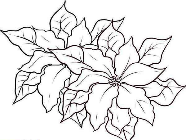 poinsettia in the garden coloring page  color luna
