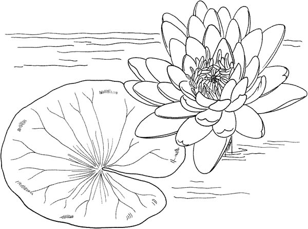Nymphaea Mexicana And Lily Pad Coloring Page : Color Luna